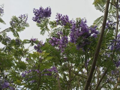 These trees with purple flowers were everywhere. Very pretty!